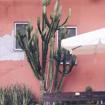 Kaktus Corniglia