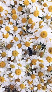 Wallpaper_daisiesandglitter_spring_2018 (3)_169x300