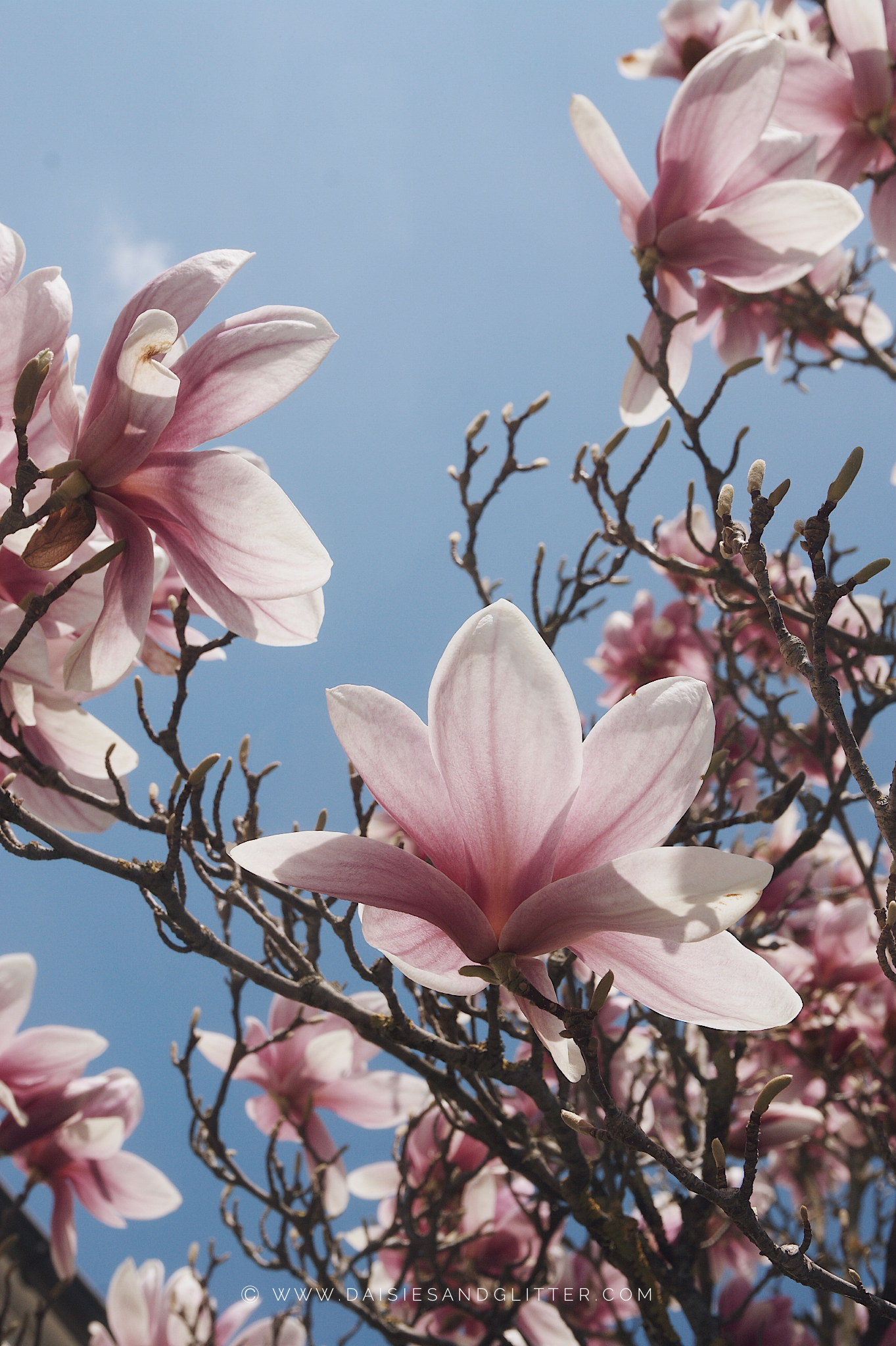 Wallpaper Magnolienbaum