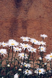 Wallpaper daisies
