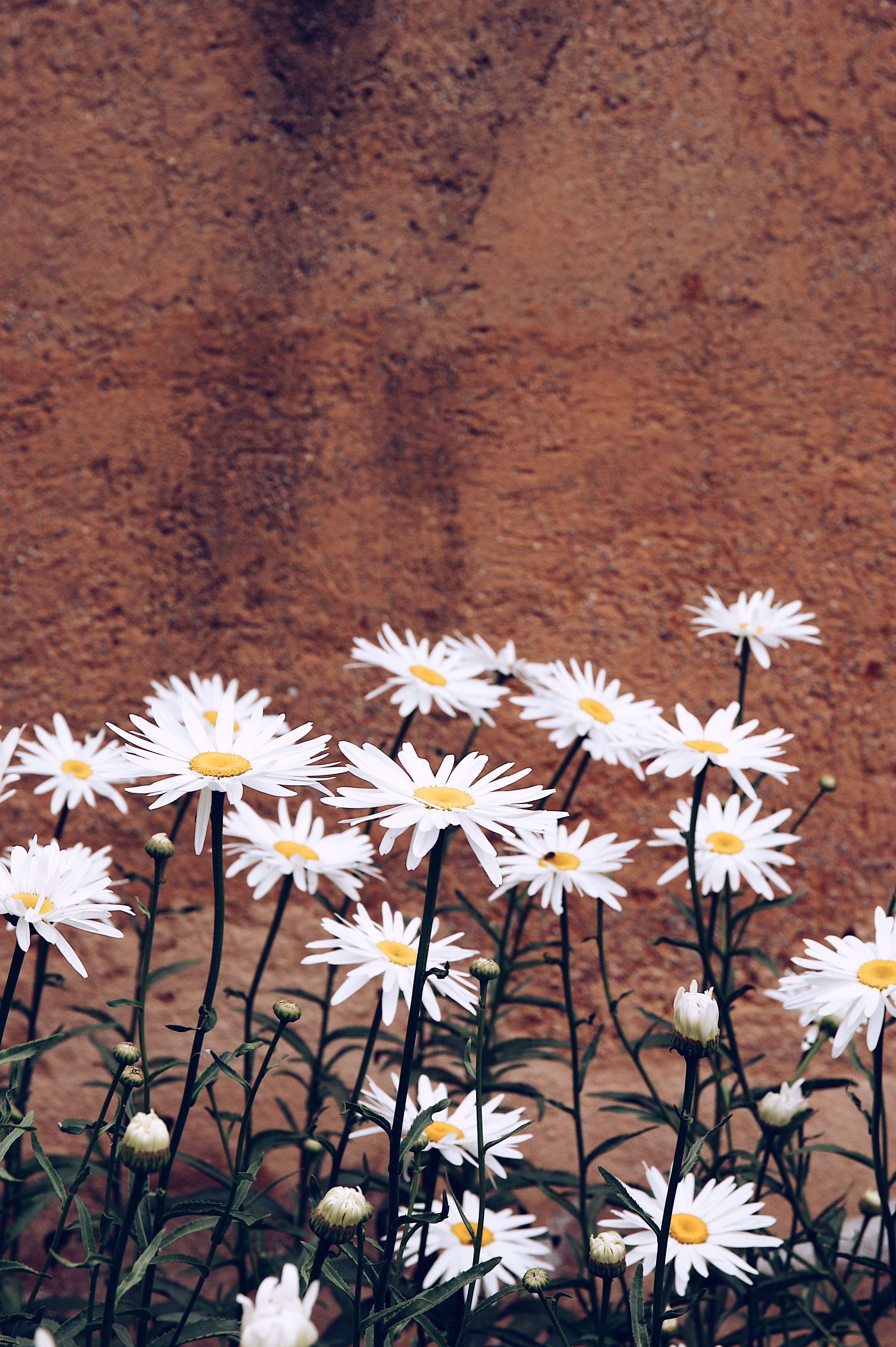 Wallpaper daisies