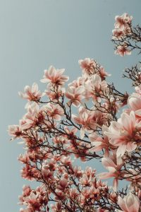 Wallpaper magnolia tree