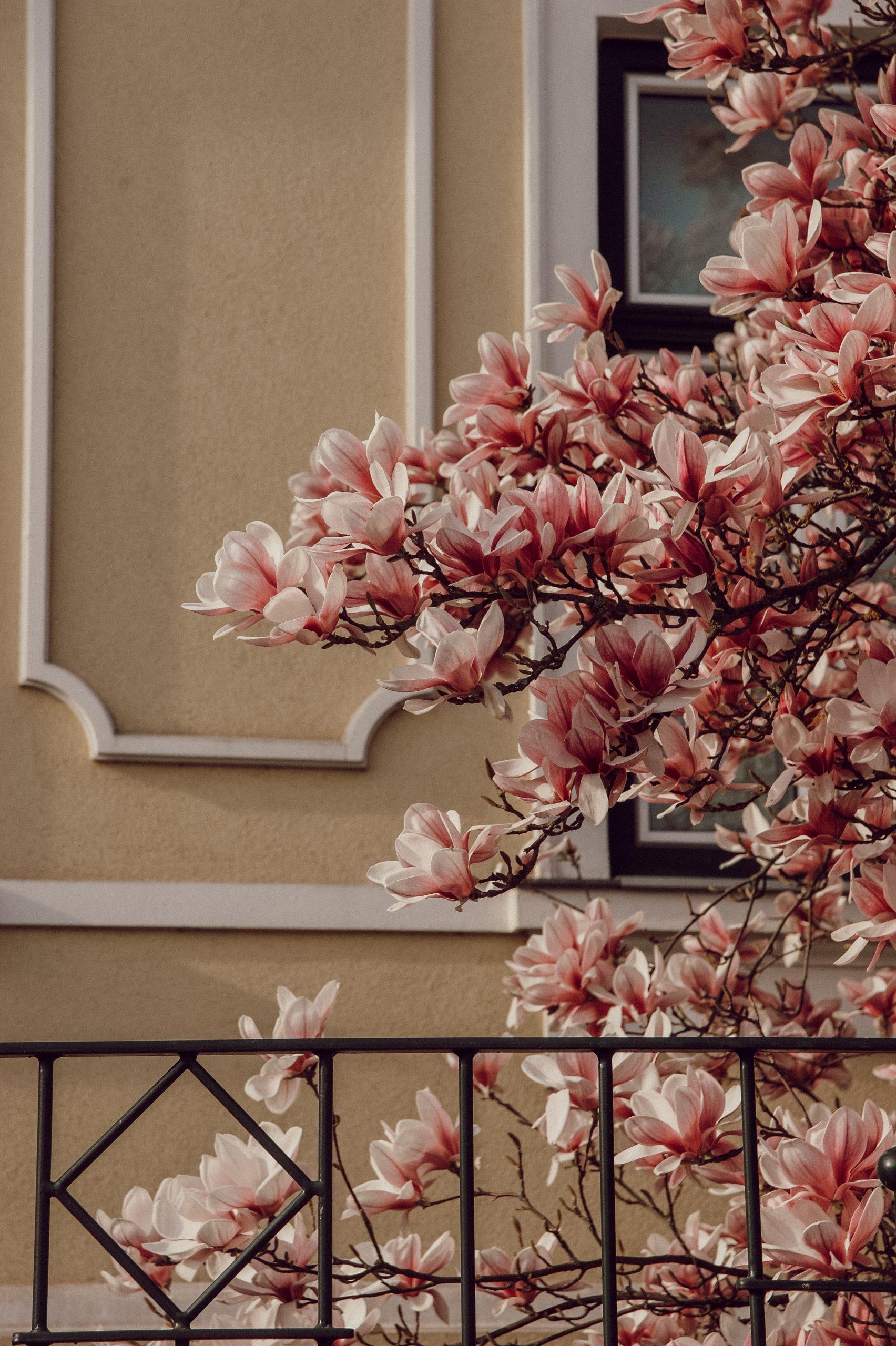 Wallpaper magnolia tree